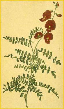 Свайнсона козлятниколистная ( Swainsona galegifolia ) Edwards